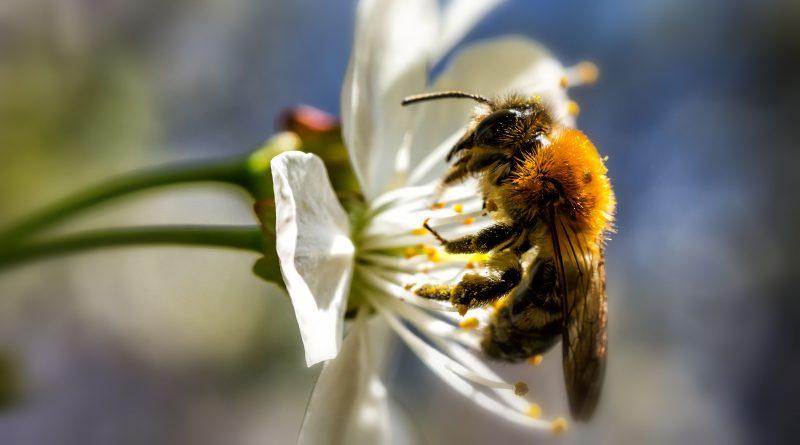 pszczoła z blachowni